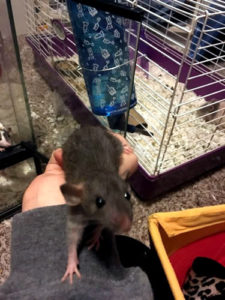 country-care-pet-hospital-Blue-Hooded-Rat