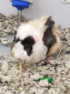country-care-pet-hospital-guinea-pig