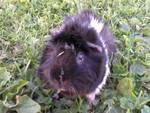 country-care-pet-hospital-guinea-pig-4