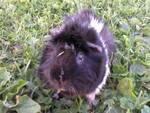 country-care-pet-hospital-guinea-pig-4
