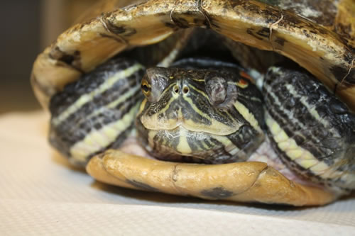 country-care-pet-hospital-turtle-2