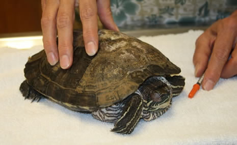 country-care-pet-hospital-turtle