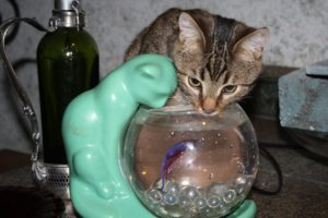 Squeak enjoys this novel drinking station, and gets extra stimulation from the fish who lives inside
